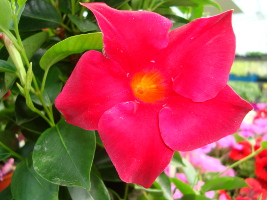 Virágos nyövények - Wágner kert kertészet