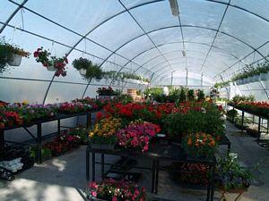 Muskátlik, pistikék, daturák, kefevirágok, füszernövények és sok más finom illatú, gyönyörű növény
