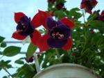 Évelők, virágos növények - Évelők, virágos növények | Wágner Kert kertészet - Aranyhaltól a Zsályáig, minden ami KERT!