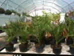 Évelők, virágos növények - Kanári datoya pálma (Phoenix canariensis) | Wágner Kert kertészet - Aranyhaltól a Zsályáig, minden ami KERT!