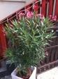 Évelők, virágos növények - Leander