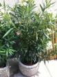Évelők, virágos növények - Leander | Wágner Kert kertészet - Aranyhaltól a Zsályáig, minden ami KERT!