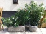 Évelők, virágos növények - Egynyári és évelő virágok, díszfák, cserjék, sövények, sziklakerti és mediterrán növények, örökzöldek, gyümölcsfák, virágföldek, tápok, cserepek, kaspók, virágtartók. Szeretettel várjuk kertészetünkben! Aranyhaltól a Zsályáig, minden ami KERT!