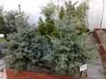 2012 KARÁCSONY - Karácsonyfák, fenyőfák, karácsonyi díszek, koszorúk, kiegészítők