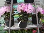 2013 Virágos növények - Gyönyörű virágos növények érkeztek!