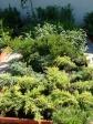 Örökzöldek, tuják, cserjék - Egynyári és évelő virágok, díszfák, cserjék, sövények, sziklakerti és mediterrán növények, örökzöldek, gyümölcsfák, virágföldek, tápok, cserepek, kaspók, virágtartók. Szeretettel várjuk kertészetünkben! Aranyhaltól a Zsályáig, minden ami KERT!