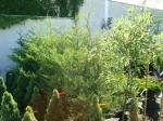 Örökzöldek, tuják, cserjék - Örökzöldek, tuják, cserjék | Wágner Kert kertészet - Aranyhaltól a Zsályáig, minden ami KERT!